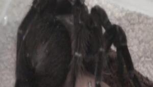 Terör operasyonundan tarantula çıktı