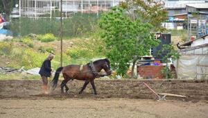 İzmirin göbeğinde kara sabanla tarım