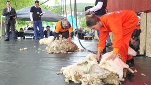 Çobanlar, Kızılayda küçükbaş hayvan sürüsü gezdirecek