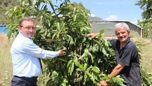 Avokadoda Alanya markası doğuyor