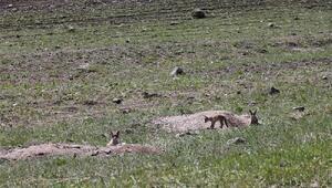 Kızıl tilki ailesi yuva değiştiriyor
