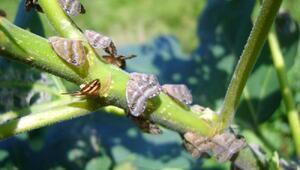 Doğu Karadeniz'de çiftçinin kabusu böcekle biyoteknik mücadele başlatıldı