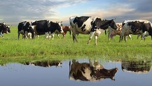 Süt para etmezse inekler kesilir