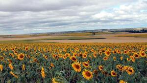 Edirnede ayçiçek ve buğday tarlalarını dolu vurdu