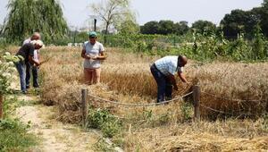 Nilüfer'de 13 çeşit buğday üretildi