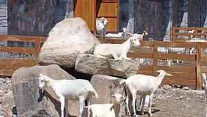 2 bin keçi 'mama' için çalışıyor