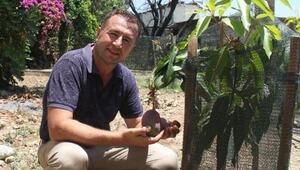 Deneme amaçlı ektiği mangoların ilk meyvesini aldı