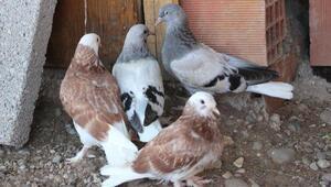 Dişi güvercinleri çalınınca yavruları kendi elleriyle besliyor