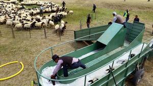 Koyun banyosu yaylacıları sevindirdi