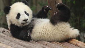 Dünya şirinleri pandalar hakkında bilmeniz gereken 5 bilgi