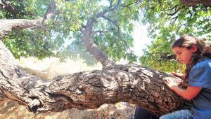 Yozgatta 2 bin 600 yıllık dut ağaçları taze meyve veriyor