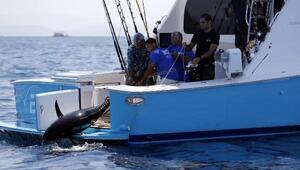 2017 MOST Bodrum Turnuvasında 116 kiloluk orkinos rekoru