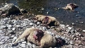 Kurtarlar sürüye saldırdı, 80 koyun telef oldu