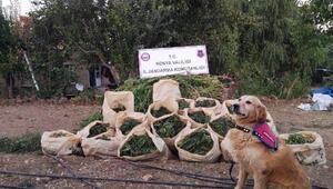 Konyada 5 bin kök kenevir ve 225 kilo esrar ele geçirildi