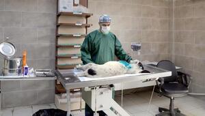 Maganda kurşunu ile yaralanan köpek ameliyat edildi