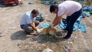 Çöp döküm sahasındaki hayvanlara sağlık taraması