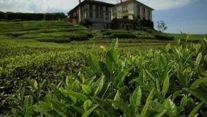 Doğu Karadenizde çay hasat dönemi sona erdi