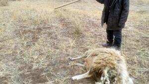 Sürüye saldıran kurtlar, 11 koyun ile 1 köpeği telef etti