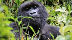 Gümüş sırtlı gorillerle buluşma: Ruanda