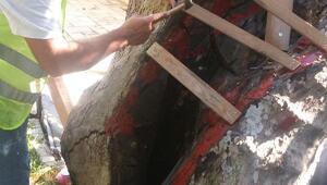 Asırlık ağaçlara bakım yapıldı