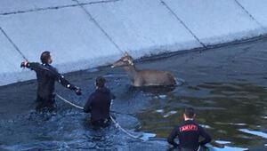 Kanala düşen anne geyik ve yavrusu kurtarıldı