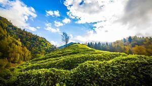 Doğu Karadeniz'de organik çay tarımı belirsizliği