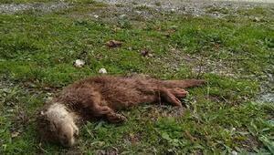 Kastamonuda Su samuru yavrusu ölü bulundu