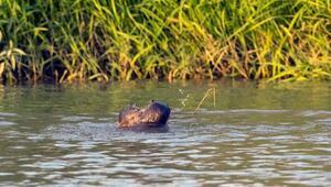 Dicle Nehrinde 3 su samuru görüntülendi