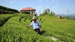 Çay sektöründe kanun arayışı