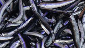 Bir anda kayboldu, balıkçılar şaşkın… Fiyatı fırladı