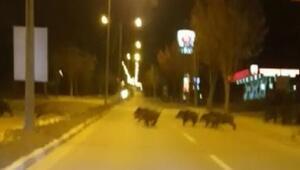Çorumda aç kalan domuzlar şehre indi