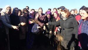 Yerli buğday tohumu Mardinde toprakla buluştu