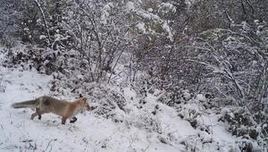 Ardahan'da doğal yaşam 'fotokapan'la görüntülendi
