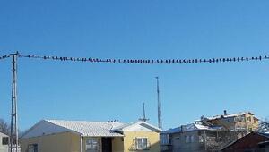 Kar yağınca kuşlar elektrik tellerinde yem bekledi