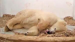 Hayvanat bahçesindeki 26 günlük kutup ayısı öldü