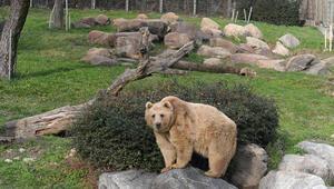 Karın geç gelmesi ayıları uykusuz bıraktı