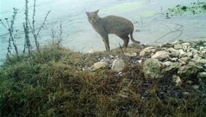 Saz kedisi Eskişehirde ilk kez görüntülendi