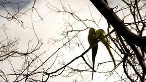 Yeşil papağanların sayısı artıyor