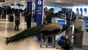 Görenler şoke oldu Tavuskuşuyla uçağa binmek isteyince...