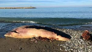 Kastamonuda sahile yunus ölüsü vurdu