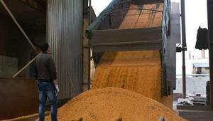 FAO: Yeni tahminler küresel tahıl üretiminde rekora işaret ediyor