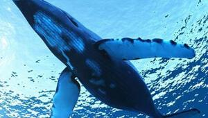 Boluda mavi balina şüphesi