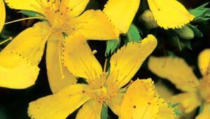 Sarı kantaronun faydaları - Sarı kantaron yağı nasıl yapılır