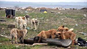 Edirnede kayıp 500 köpek aranıyor