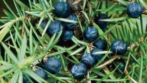 Ardıç yağı faydaları neler Bronşite iyi gelen bitkiler arasında
