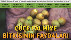 Cüce palmiye nedir, faydaları neler