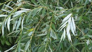 Baş ağrısına ne iyi gelir Söğüt Ağacı Kabuğu faydaları