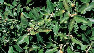 Hint ginsengi faydaları – Ashwagandha tozu nasıl kullanılır