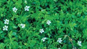 Hafızaya iyi gelen bitkilerden Bacopanun faydaları neler Bacopa nasıl kullanılır