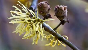 Güvercin ağacı faydaları nedir Hemoroid tedavisinde etkin rol oynuyor
